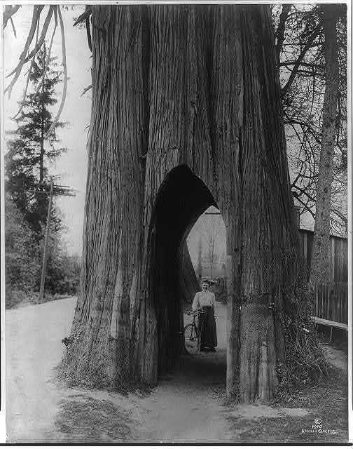 The famous bicycle tree of Snohomish [Washington]