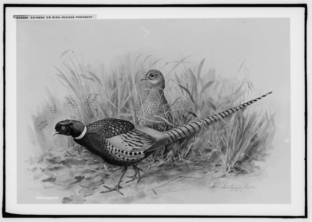 Chinese or ring-necked pheasant