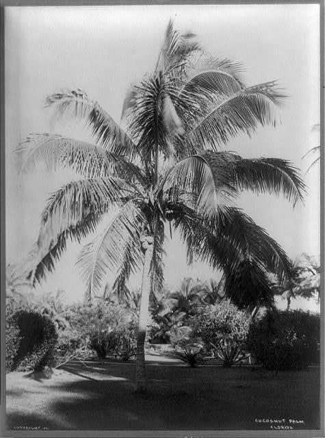 Coconut palm, Florida