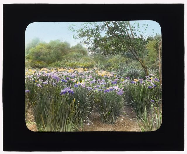 "[Grey-Croft,"" Stephen Swete Cummins house, Huntting Lane, East Hampton, New York. Japense iris garden]"