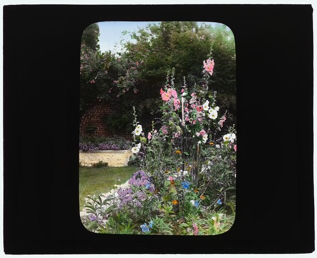 [George Warrington Curtis house, Southampton, New York. Hollyhock (Alcea)]