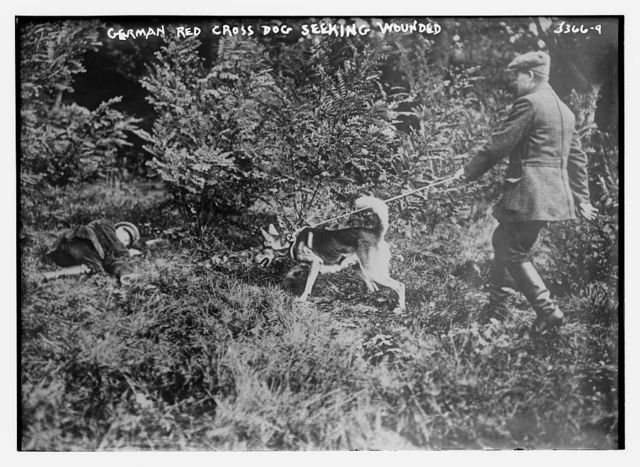 German Red Cross dog seeking wounded