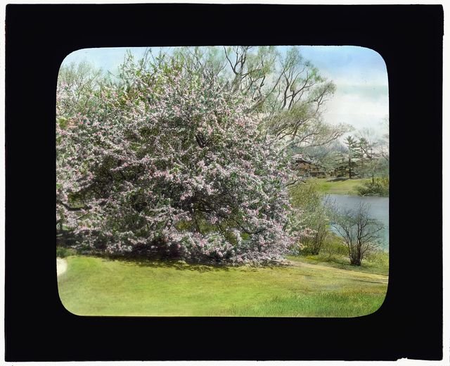 "[""Holm Lea,"" Charles Sprague Sargent house, Brookline, Massachusetts. Crab Apple (Malus)]"