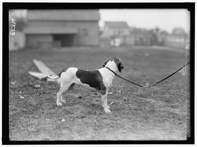 NATIONAL BEAGLE CLUB OF AMERICA. DOGS OWNED BY RAYMOND BELMONT