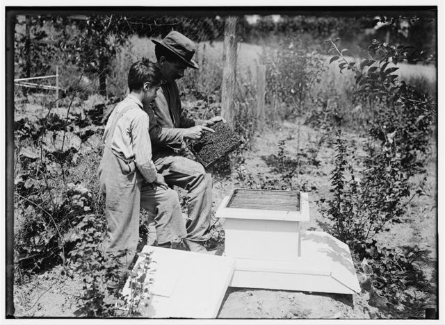 Work that Educates. Twelve-year old boy tending bees under the direction of his father, John Spargo. Bennington, Vermont, Aug. 1914.  Location: Bennington, Vermont.
