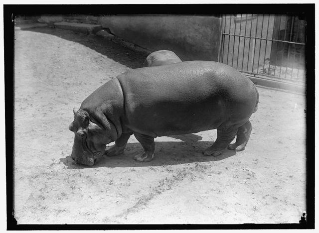 ZOO. HIPPO