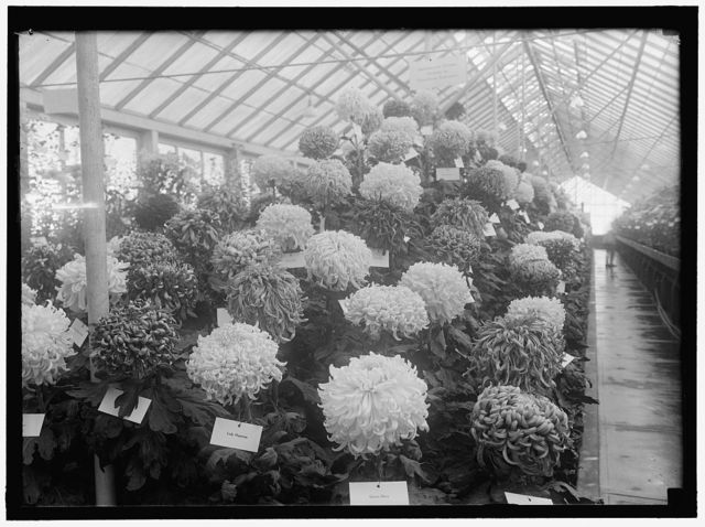 AGRICULTURE, DEPARTMENT OF. CHRYSANTHEMUM SHOW