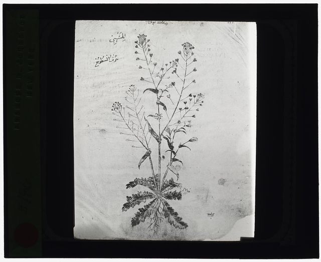 [Reproduction of a botanical drawing]