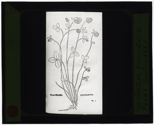 [Reproduction of print showing Basil-thyme]
