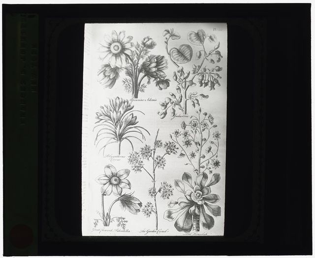 [Reproduction of print showing Flowers]