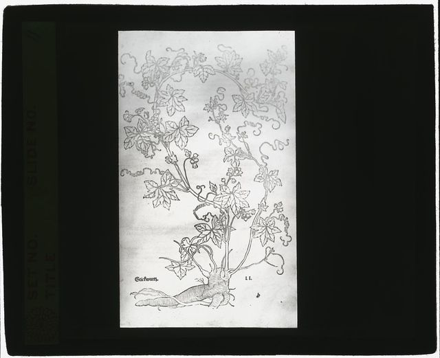 [Reproduction of print showing Red  bryony]