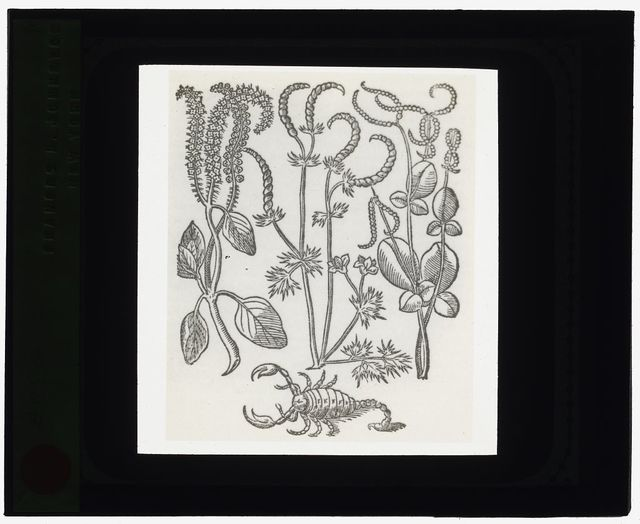 [Reproduction of print showing Scorpion plant]