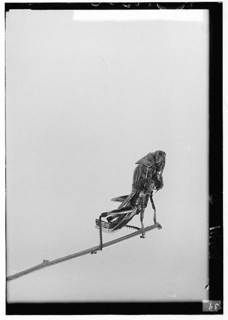 The terrible plague of locusts in Palestine, March-June 1915. Metamorphosis continued