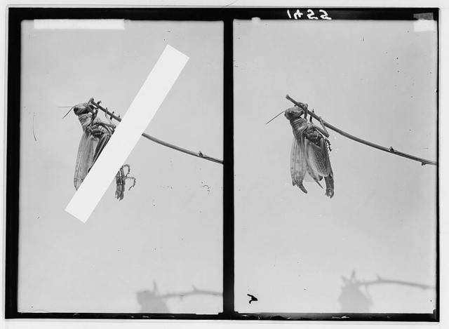The terrible plague of locusts in Palestine, March-June 1915. Wings in process of unfolding.