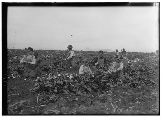 Two families were represented here, topping beets on farm near Ft. Collins, Colo. Out of 12 workers, 7 were children, aged 7- 8- 9- 11- 12- 13- 14- years. This is an exceptional group. Although there are thousands of children under 14 yrs. in this state working beets, yet the actual percentage of the total number of beet workers is small -- many farms work no children and many have only one or two. If children under 14 yrs. were eliminated from this work during school session, their places would be filled easily by older ones, and the economic loss felt very little in most cases. See Hine Report for actual counts of adults and children in the various beet districts of Colo.  Location: Ft. Collins [vicinity], Colorado / Photo by Hine, Oct. 30/15.