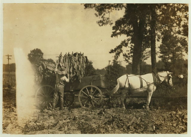 Boy 18 years old and father A.W. Galloway, R. 1, loading tobacco.  Location: Hebbardsville [vicinity], Kentucky / Lewis W. Hine.
