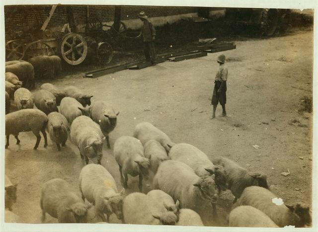 """Driving boy"" driving sheep into the sheep pens at Carlisle.  Location: Nicholas County--Carlisle [vicinity], Kentucky / Lewis W. Hine."