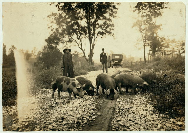 """""""Driving boy"""" taking pigs to market. Says he is 14 years old and has been working with pigs for 9 years. Goes to school in Paris, Ky. Horace Harpe, 320 West 8 Street.  Location: Winchester [vicinity], Kentucky / Lewis W. Hine."""