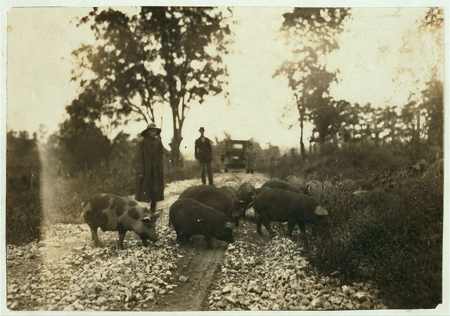 """""""Driving boy"""" taking pigs to market. Says he is 14 years old and has been working with pigs for 9 years. Goes to school in Paris, Ky. Horace Harpe, 320 West 8 Street,.  Location: Winchester [vicinity], Kentucky / Lewis W. Hine."""
