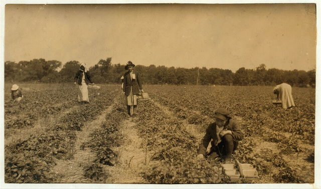 [Picking strawberries on Clagett and Covington farm. They will have 500 pickers in the height of the season. Not many young workers yet.]  Location: [Bowling Green vicinity, Kentucky]. / L.W. Hine.