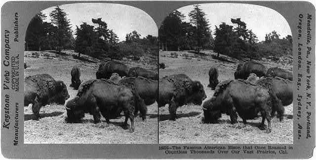 The famous American Bison that once roamed in countless thousands over our vast prairies, Cal.