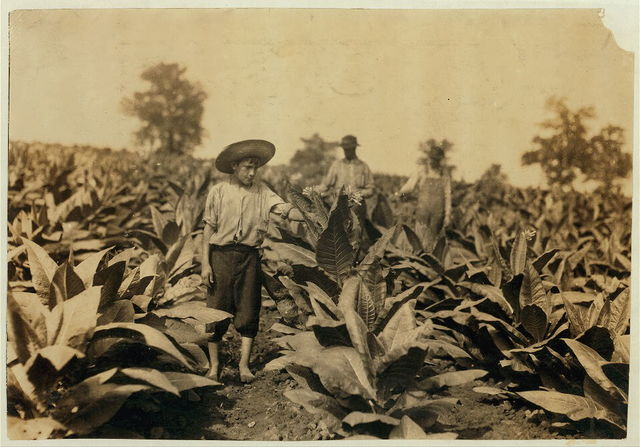 Topping tobacco. Roland Lowe, 13 years old in field with two brothers. There are 7 boys and 2 girls in the family, and 4 are in school. Father, Mose Lowe, R. Route 1, Winchester. Children go to Pretty Run School, Division 2, Clark Co., Ky., but Roland and Bush, 14 years old have not started yet--about 3 weeks after it opened. Father rents this farm of 160 acres.  Location: Clark Co.--Winchester, Kentucky / Lewis W. Hine.