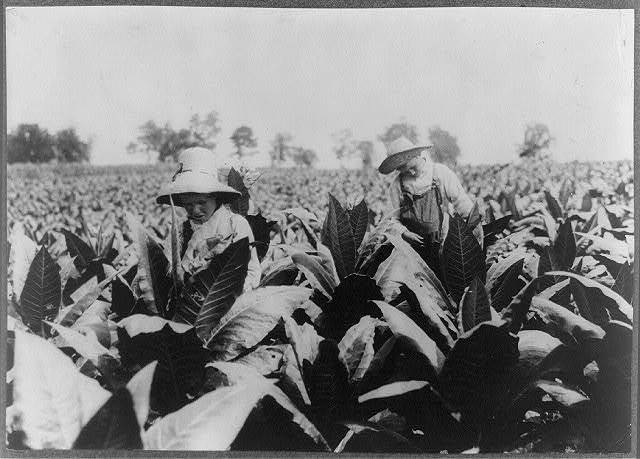 Worming and topping tobacco. W.L. Fugate rents farm. Willie, 12 years old and Ora, 10 years old will go to Schoolsville School, Clark Co., Ky., but it has not opened yet.  Location: Hedges Station, Kentucky / Lewis W. Hine.