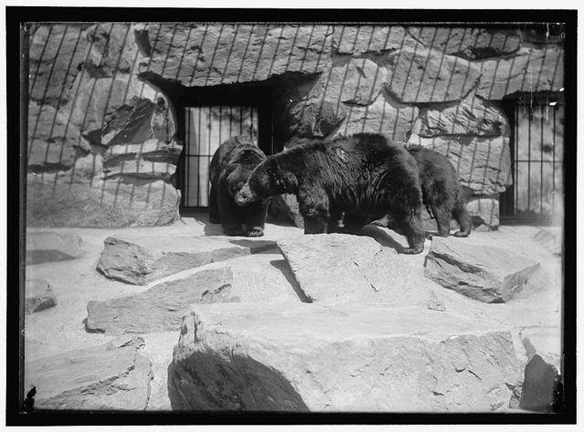 ZOO, WASHINGTON, D.C.: BLACK BEAR