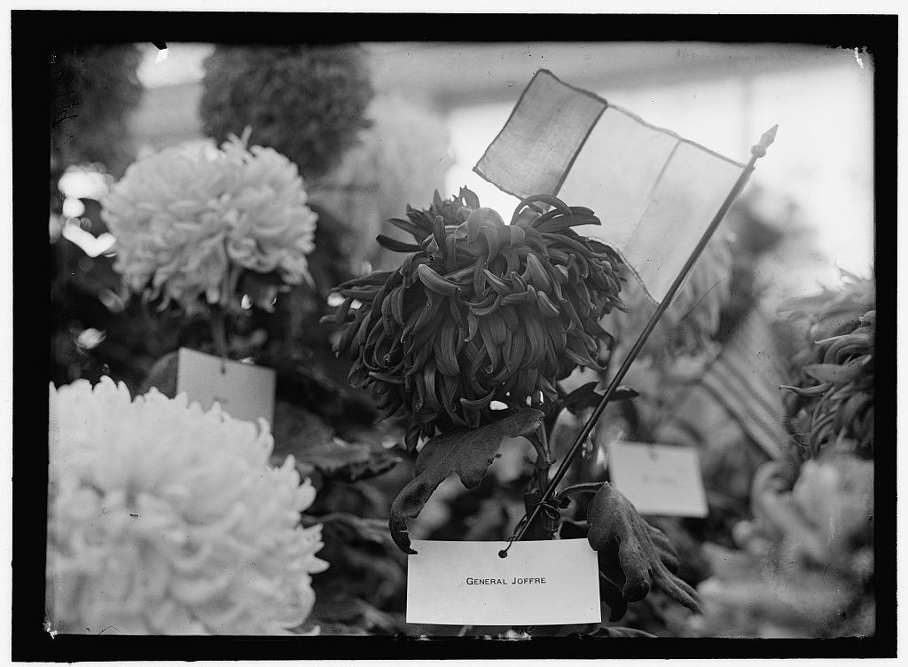 JOFFRE, JOSEPH JACQUES CESARE. MARECHAL OF FRANCE, 1916. CHRYSANTHEMUM NAMED 'GENERAL JOFFRE'