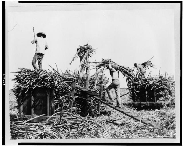 [Loading sugar cane on carts, Hawaii]