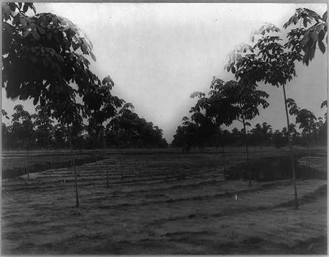 [Rubber plantations in Sumatra: Trees, 2 years old, Kisaran Estate, Kisaran]