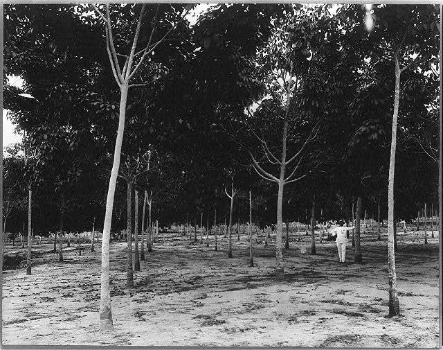 [Rubber plantations, Java?, 1914]: 3-year-old trees, Soengei Sikassim Estate