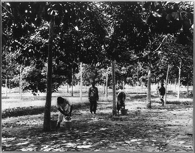 [Rubber plantations, Java?, 1914]: collecting latex & cupwashing, Sikassim Estate