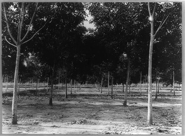 Trees, 4 years old, Soengei Sikassim Estate [in Sumatra?]