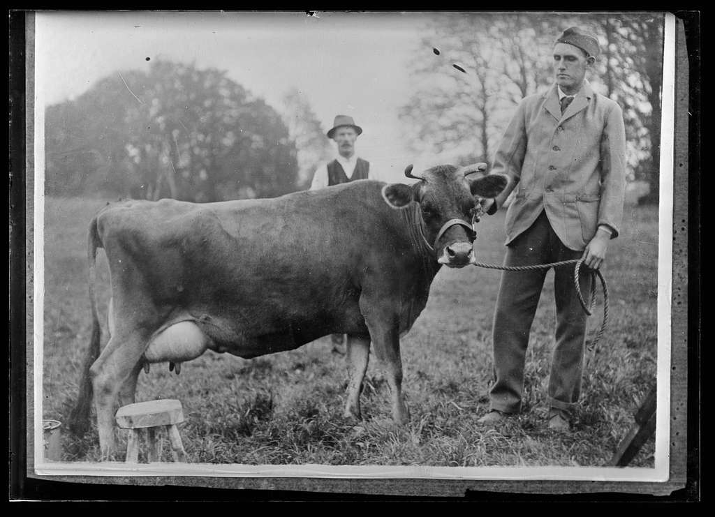 A Jersey cow at the American Red Cross Military Hospital Farm, Salisbury, England. Much of the work on the Farm is done by Convalescent American soldiers. The Hospital Cattle include thirty cows (Jerseys) and thirty Guernseys, all selected stock given by the Farmers of little Islands of Jersey and Guernsey as an evidence of their appreciation of the American effort in the war