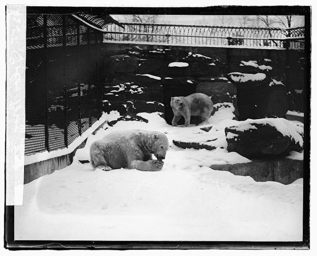 Polar Bear, zoo