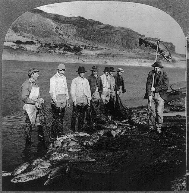 Salmon caught with nets on the Columbia River, Oregon