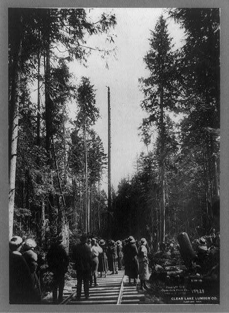 Tapping a spar tree, Clear Lake Lumber Co., Clear Lake, Wash