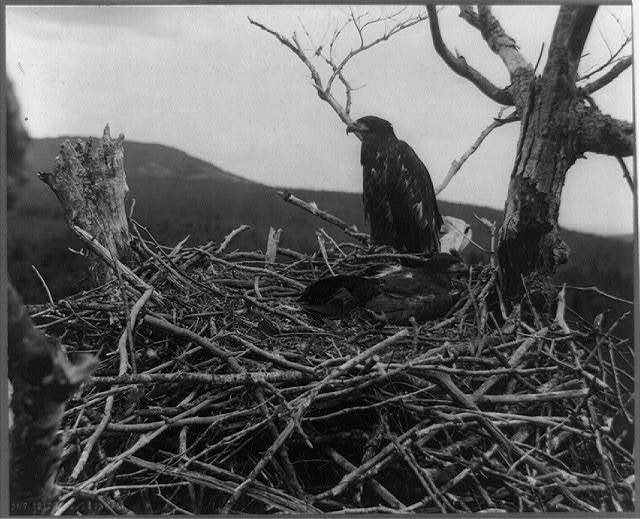 Two young eagles in nest, Lafayette National Park, Mt. Desert Island, Maine
