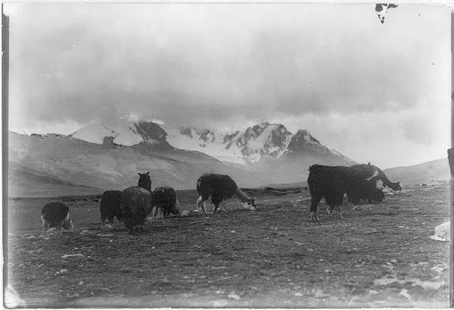 [Alpacas grazing. Peru. ca. 192-.]