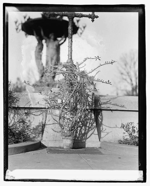 Botanical garden, Christ thorn