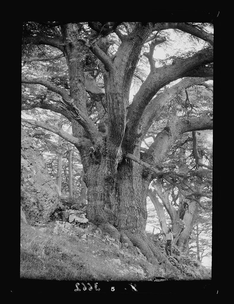 """Cedar grove. Cedars of Lebanon. Arz Er-Rub. """"God's Cedar."""" The Patriarch of the grove"""