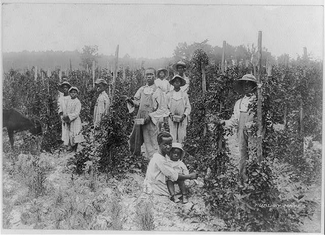 Dewberry pickers, near Southern Pines, N.C.