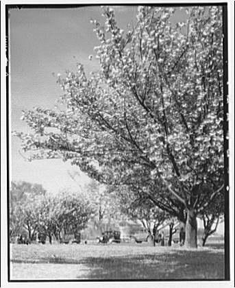 Double blossoms at Hains Point. Double blossoms I