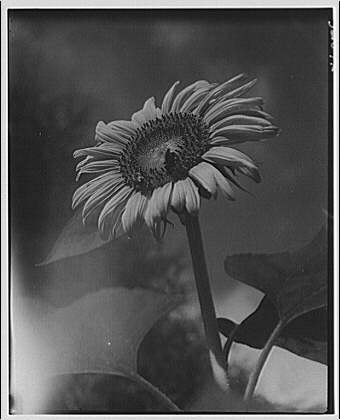 Flowers and other plants. Closeup of sunflower