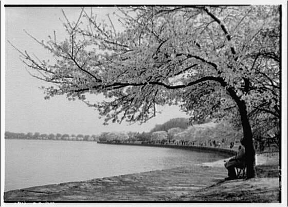 Japanese cherry blossoms. Japanese cherry blossoms around Tidal Basin