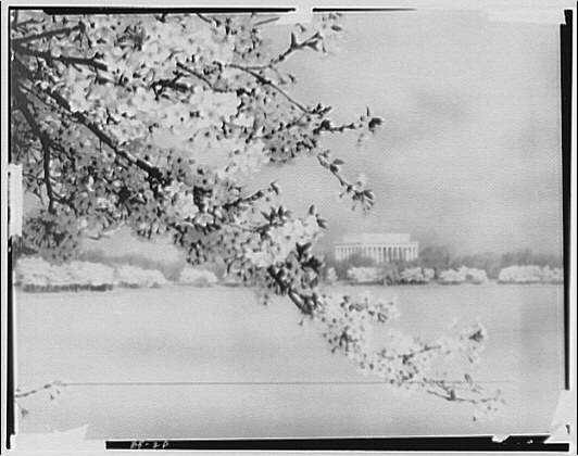 Japanese cherry blossoms. Japanese cherry blossoms with Tidal Basin and bridge V