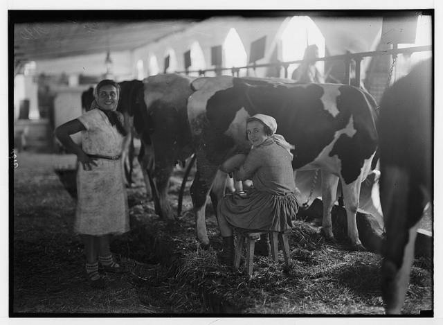 Nahalal. Girls' agricultural training school. Dairy. Girl student milking cows