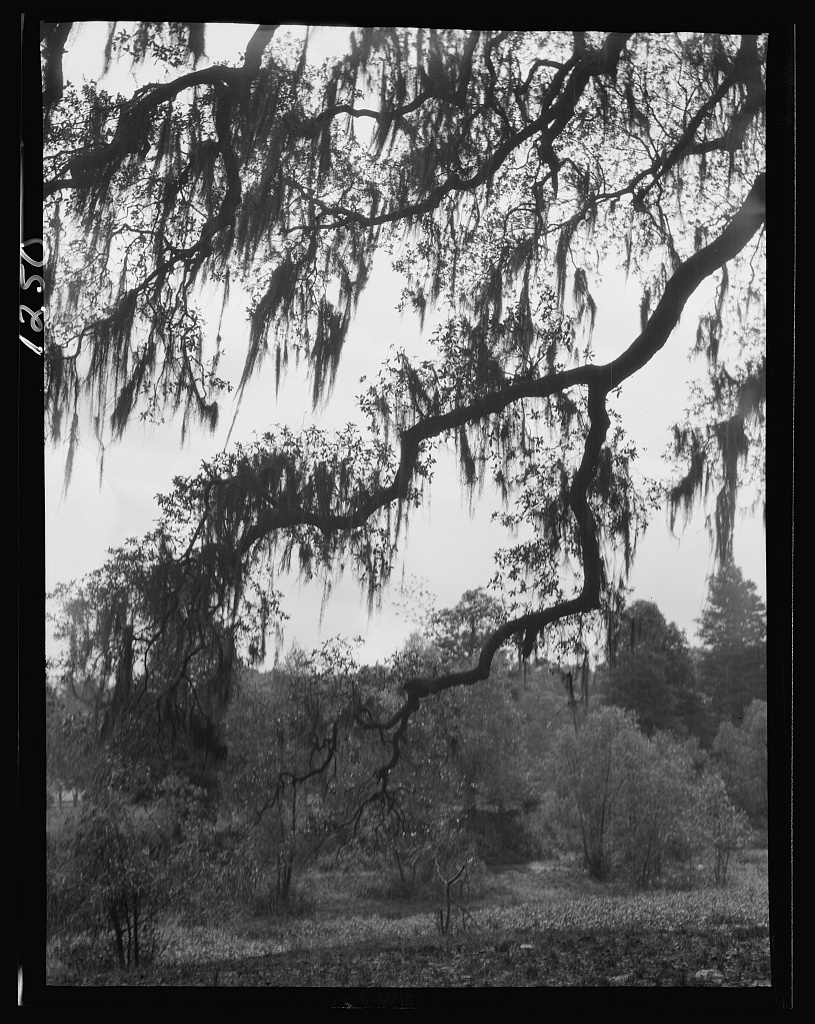 Oak trees, New Orleans