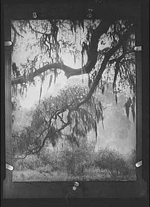 Spanish moss, New Orleans
